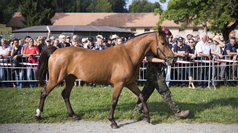Thurgovie: 80 chevaux maltraités par un éleveur sont mis en vente ce jeudi