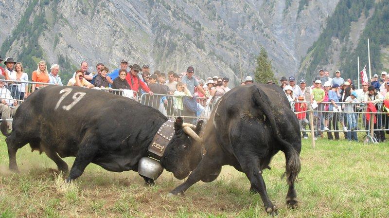 """En 2011, le combat des Mayens de My avait vu la victoire de """"Finette"""" (No 19) de Paul Germanier devant 1500 spectateurs."""