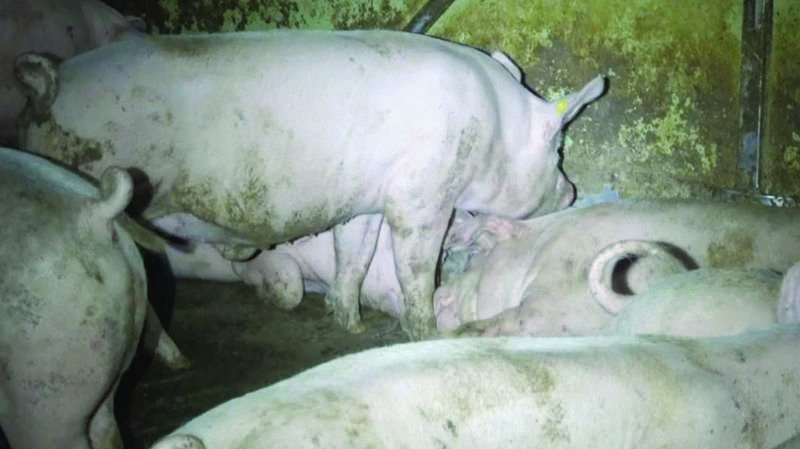 Maltraitance dans les porcheries: poursuivi par l'Etat de Vaud, un éleveur se retire de la production