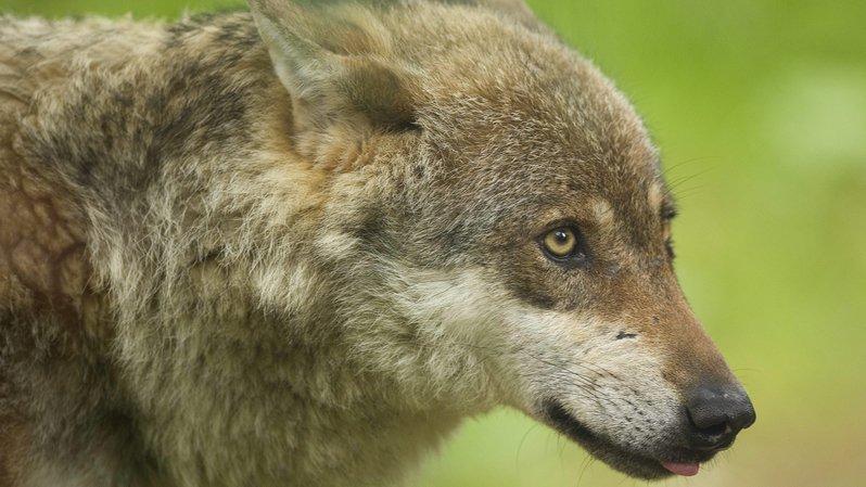 La France a autorisé l'abattage de 40 loups entre le 1er juillet 2017 au 30 juin 2018.