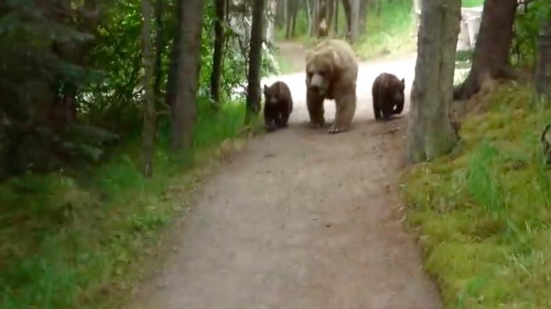 La famille grizzli semblait habituée à croiser des êtres humains dans le parc naturel.
