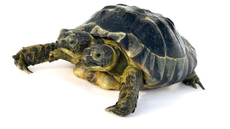 Genève: Janus, la tortue à deux têtes, fête ses 20 ans