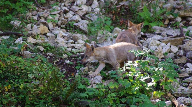 Les louveteaux ont été découverts cet été par le service de la faune du canton au moyen de pièges photographiques.
