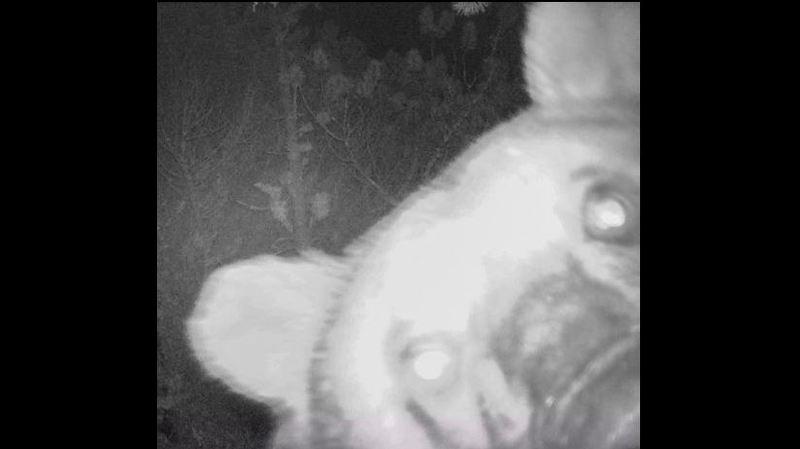Surprise dans les Grisons: quand un ours du Parc national suisse prend un selfie
