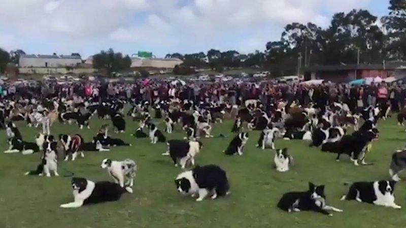 Record en Australie: 576 chiens de la même race sur un seul terrain de foot