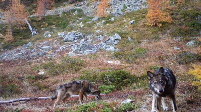Valais central: présence d'une meute de loups confirmée