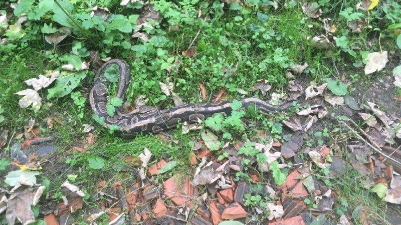 Argovie: un promeneur tombe sur un python royal d'environ deux mètres