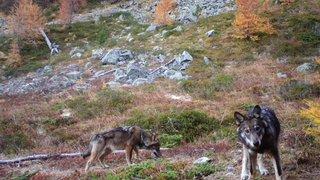 Loup: pas de croisements avec des chiens affirme la Confédération
