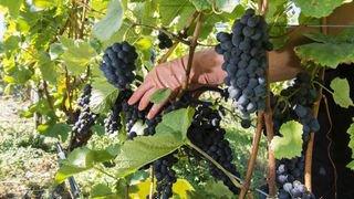 De la grappe au vin à Flanthey