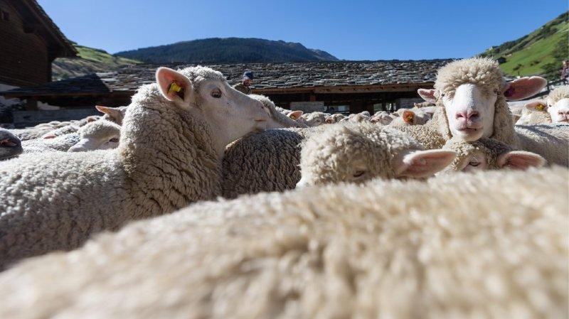 Schwyz: des moutons attaqués probablement par un loup près d'Einsiedeln