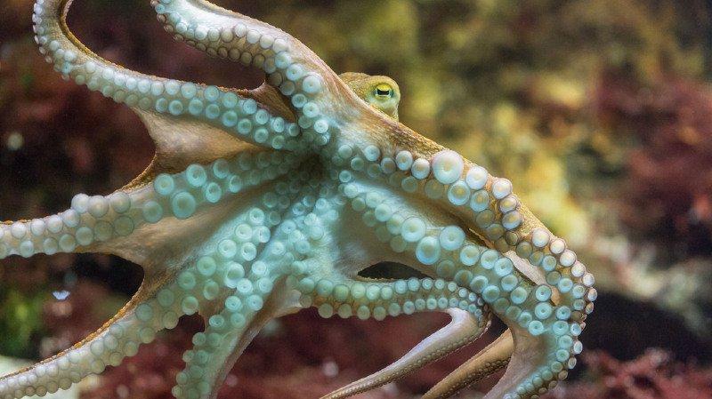 Science: un nouveau tissu de camouflage inspiré de la peau du poulpe