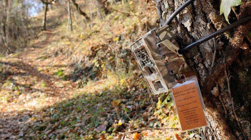 Un Valaisan condamné après avoir détruit un piège photographique pour le loup