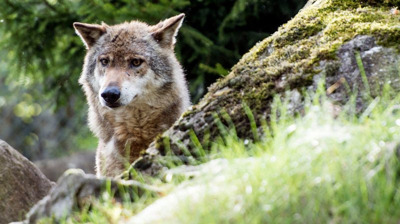 Valais: le périmètre de tir du loup étendu