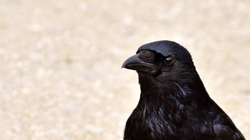 Le corbeaux sont des oiseaux faciles à dresser car très intelligents,