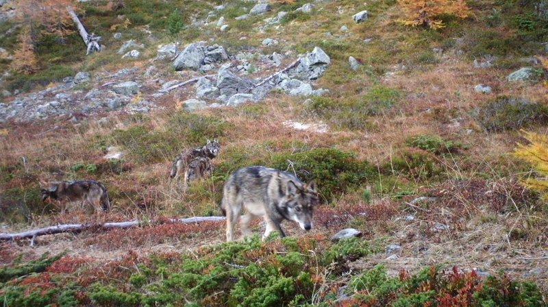 Les meutes de loups nous mettent-elles en danger?
