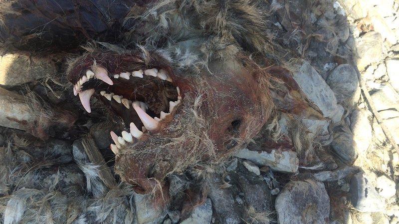 Cette carcasse a été découverte le 7 mars 2016 au bord du Rhône, dans la région de Rarogne.