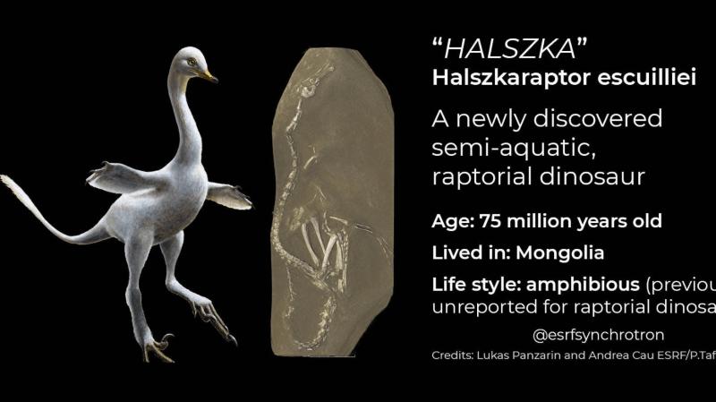 """""""Halszka"""" appartient à la famille des droméosaures, dont il partage la lignée avec le Vélociraptor, le prédateur effrayant des films Jurassic Park."""