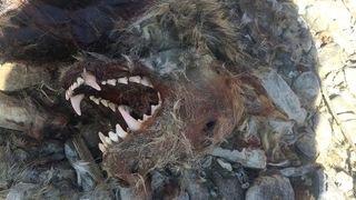 Le tueur présumé du loup de Rarogne disposait d'un arsenal de gadgets interdits