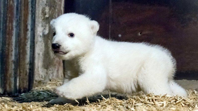 Allemagne: un zoo de Berlin en deuil après le décès d'une oursonne polaire
