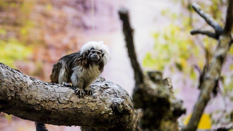 Zoo de Servion: les singes au chaud pour l'hiver dans un bâtiment tout neuf