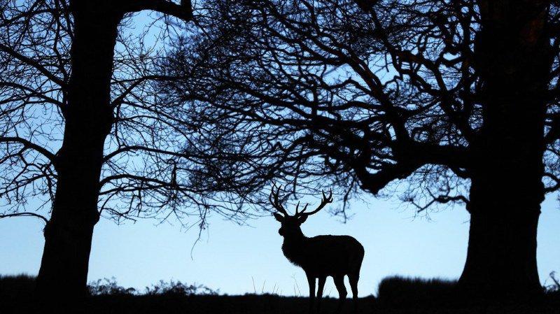 La plus grande chasse de Suisse a abouti à l'abattage de 1340 cerfs et 4194 chevreuils. (illustration)