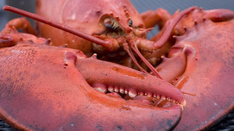 Il faudra étourdir les homards avant de les mettre à mort, car la pratique consistant à les plonger vivants dans de l'eau bouillante ne sera plus autorisée. (illustration)