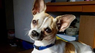 Condamné pour la mort d'un chihuahua à Martigny