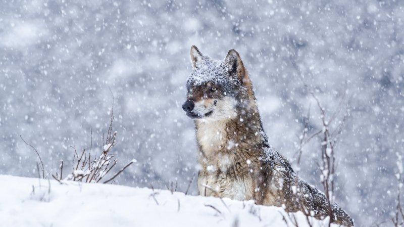 Le Valais va chiffrer le coût des dégâts causés par le loup