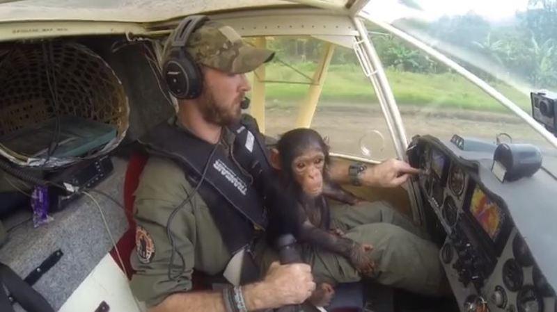 Sauvé des griffes d'un braconnier, un bébé chimpanzé prend la place du co-pilote