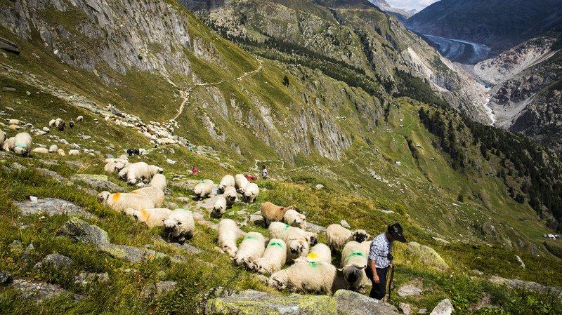 Le nombre de moutons surveillés en permanence par un berger a plus que doublé depuis 2003.
