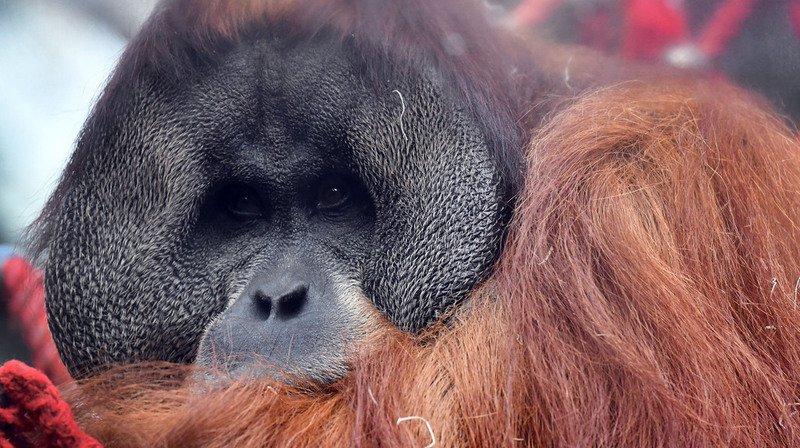 Indonésie: un orang-outan criblé de balles, des suspects arrêtés