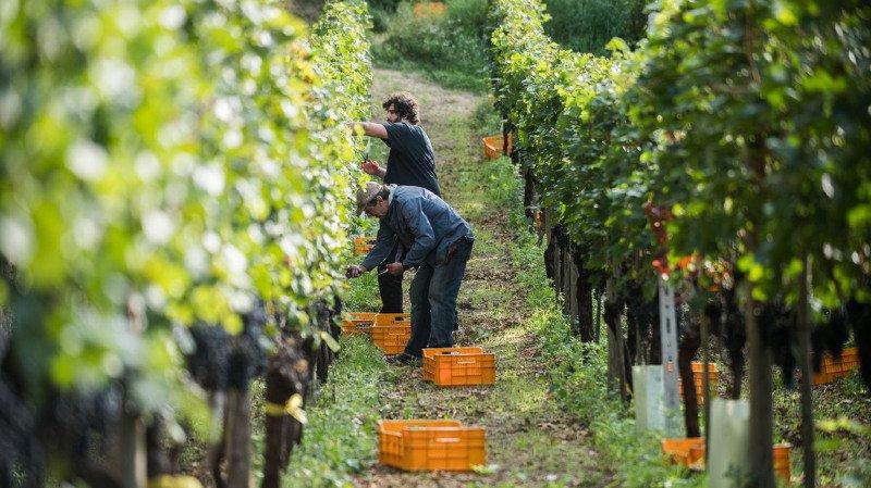 Agriculture: baisse de la production viticole en 2017 à cause du gel