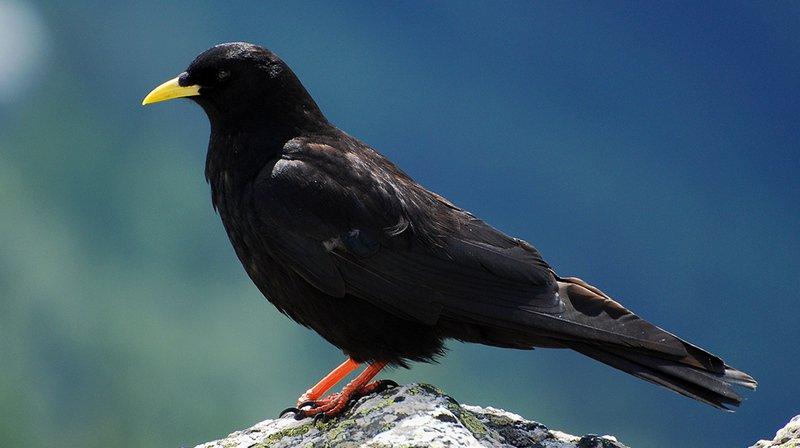 Vigneron valaisan condamné pour avoir abattu 21 oiseaux protégés