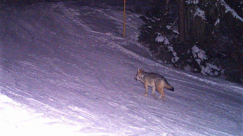 Loup: trois individus de plus en piste en Valais