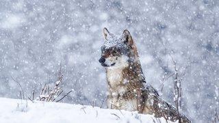 Loups hybrides: ils sont moins de 2% dans les Alpes suisses
