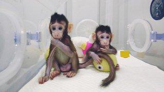 Génétique: plus de vingt ans après la brebis Dolly, les premiers singes clonés sont nés