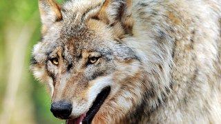 Loup: sept individus ont été identifiés en Valais l'an dernier