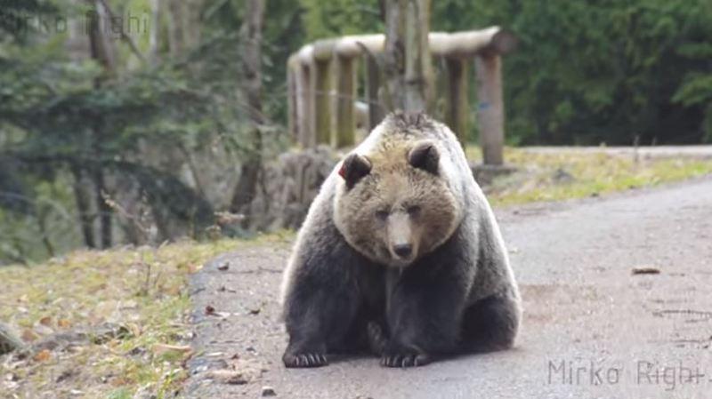 Italie: la vidéo incroyable d'un motard qui rencontre un ours sur une route de montagne