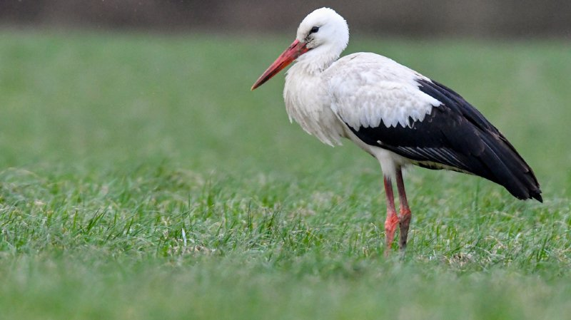 Ornithologie: les Suisses invités à surveiller le retour des oiseaux migrateurs