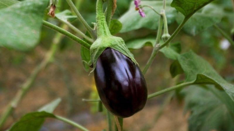 Italie: neuf ans pour être acquitté d'une tentative de vol d'aubergine