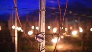 Des bougies contre le gel dans une vigne à Fläsch (GR)