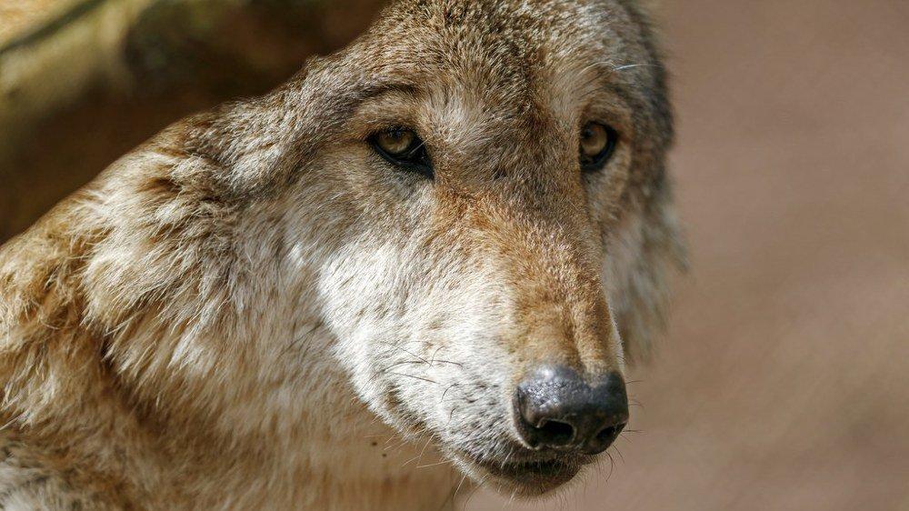 Le loup est soupçonné d'être à l'origine d'une attaque dans le val d'Hérens, mais cette hypothèse doit être confirmée par une analyse ADN.