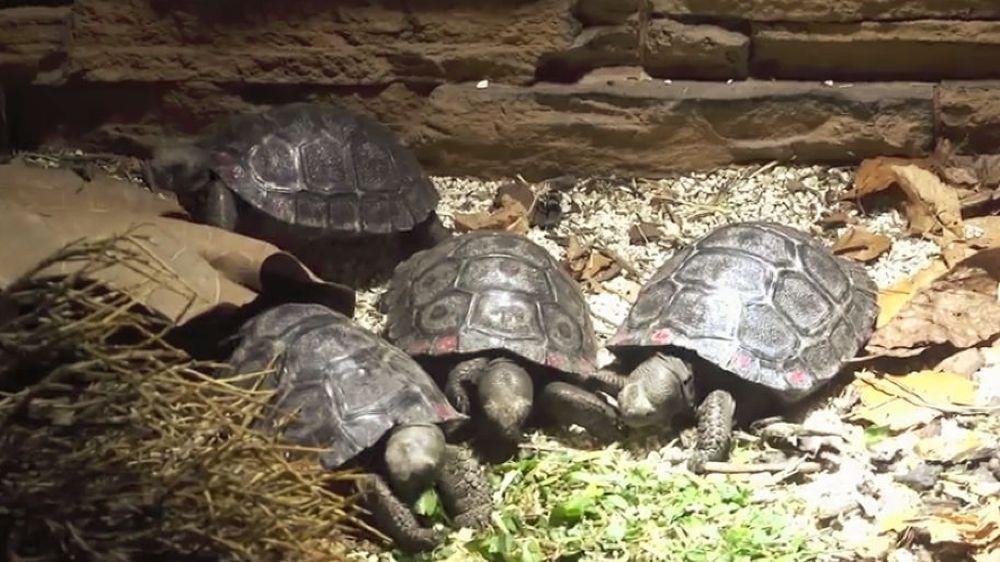 Naissance de neuf tortues des Galapagos au zoo de Zurich