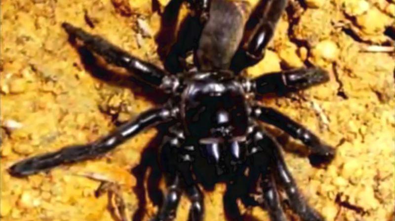 Australie: la plus vieille araignée du monde tuée par une piqûre de guêpe