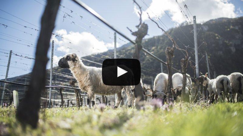 Valais: des moutons comme alternative aux herbicides dans les vignobles