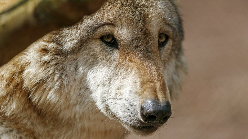 Plusieurs moutons tués dans le Val d'Hérens, le loup soupçonné