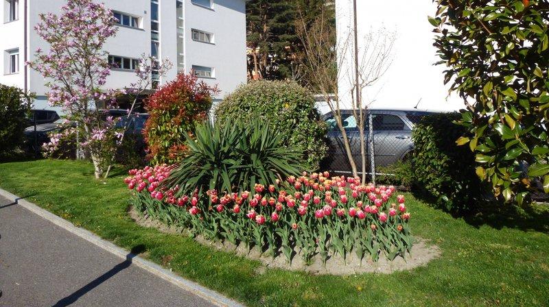 Valais: une tulipe visant l'éradication de la Polio fleurit dans le canton