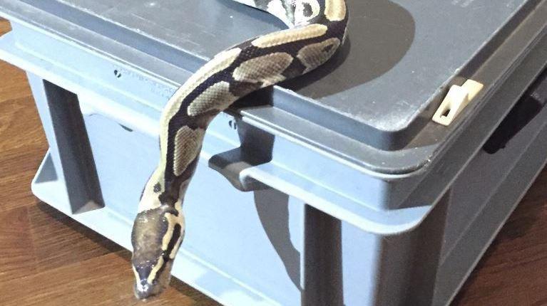 Zurich: une femme découvre un python royal dans son nouvel appartement