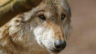 Le loup, le lynx et le castor pourront être plus facilement abattus