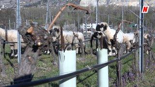 Valais: des moutons en renfort pour cultiver les vignes